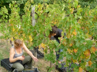Harvesting at Clos des Figuiers