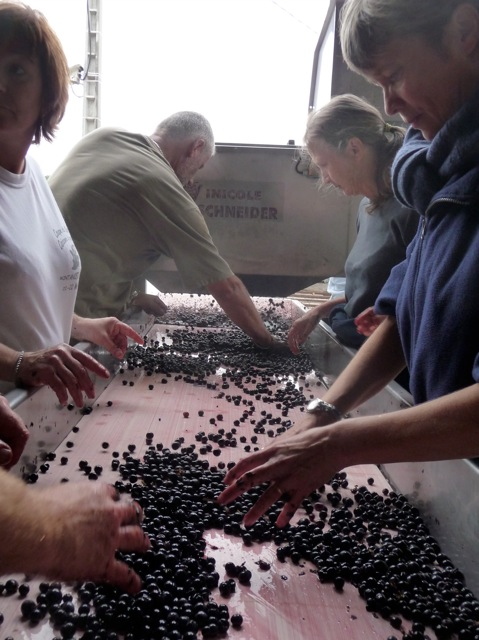Sorting at harvest time