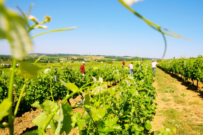 Harvest in Gaillac