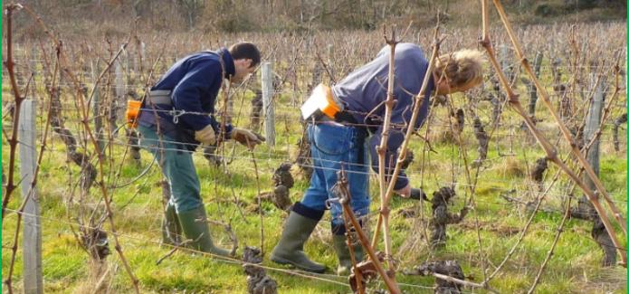 Pruning at Ch. de Villambis